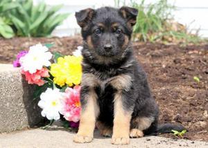 PASTOR ALEMAN Cachorros Disponibles Para Su Adopción