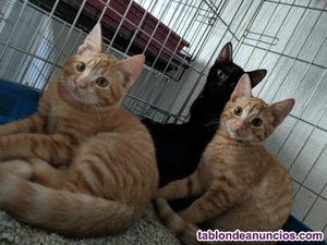 Sinue, gatito naranja en adopcion