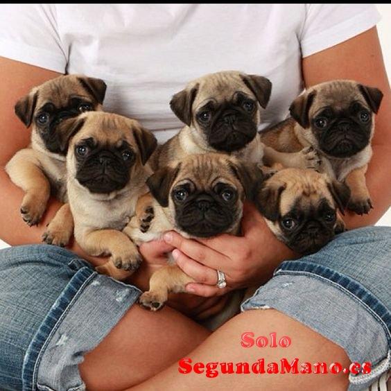 10 semanas de edad cachorros Pug para la adopción