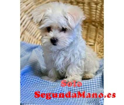 Adopcion Cachorros bichon maltes