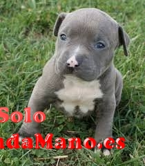 BB cachorro staffordshire bull terrier edad 3 meses