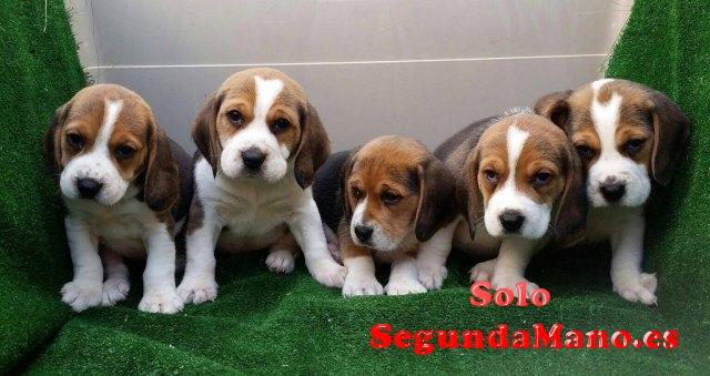 Beagles cachorros en adopcion.