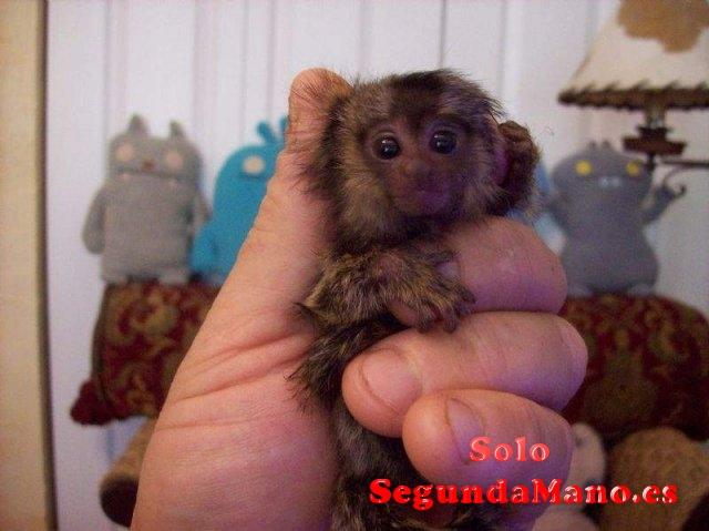 Bebé mono de jabalí para la venta de la adopción