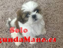 Bien entrenado Shih Tzu cachorros disponibles