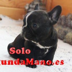 Bulldog Inglés cachorro - Alcalá de Guadaira