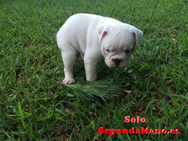 Bulldog Inglés cachorros disponibles
