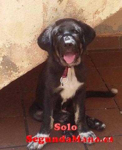 Cachorro mastín, 3 meses.