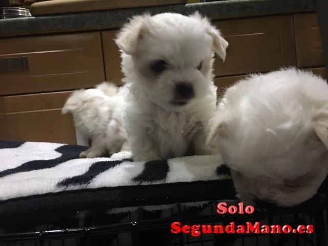 Cachorros Bichon Maltes de 14 semanas de edad