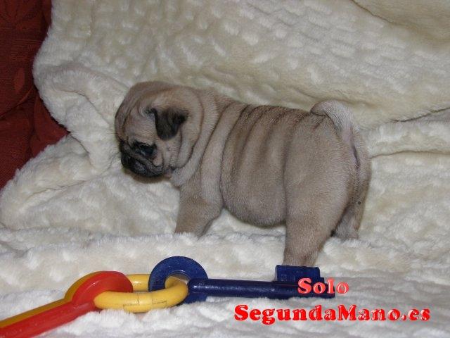 Cachorros Carlino en adopcion