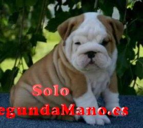 Cachorros bulldog ingles - Cercedilla