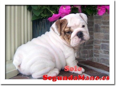 Cachorros bulldog inglés para adopció