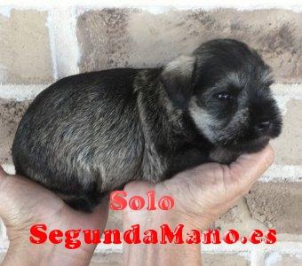 Cachorros de Schnauzers miniatura de color sal y pimienta.