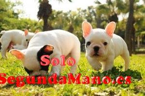 Cachorros de bulldog frances, loe