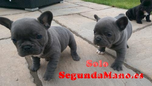Cachorros de bulldog francés en Venta