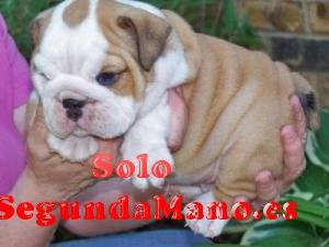 Cachorros de bulldog ingles para adopcion 002