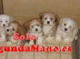 Cachorros de labrador con pedigree afijo y garantia