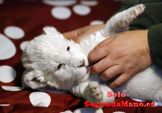Cachorros de león blancos bien domesticados