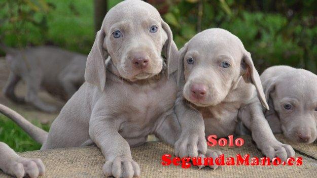 Cachorros de raza braco de weimar muy lindos