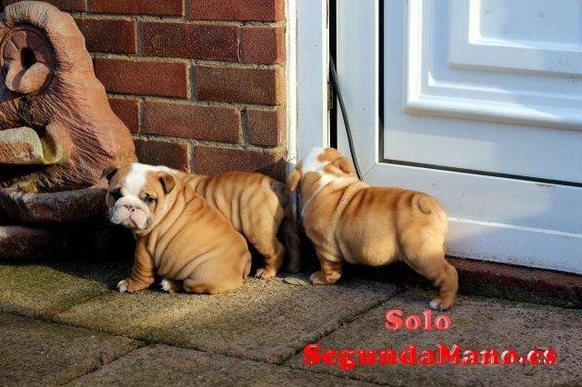 Cachorros de raza bulldog ingles