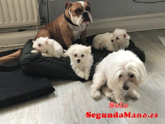Cachorros imperiales imperiales de Bichon maltes