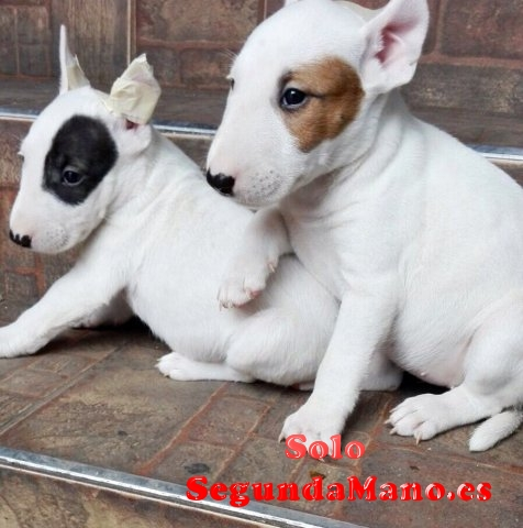 Camada de Bull terrier en adopcion