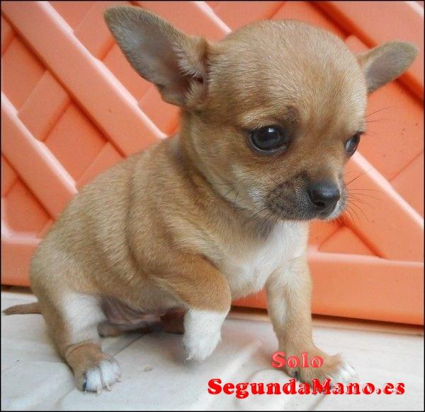Chihuahua Cachorros Para La Adopción