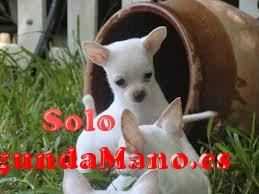 Chihuahua cachorros para la venta***