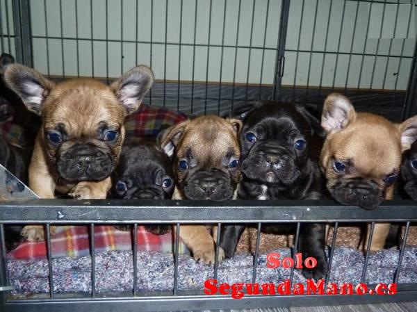 Cute Macho y hembra Bulldog francés cachorros para los