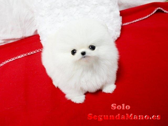 Diminutos cachorros Pomeranian adorable.
