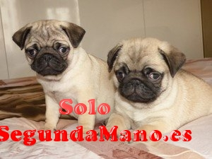 Disponible Macho y hembra cachorros Pug