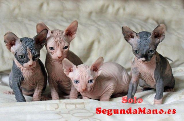 Disponible excelente camada de gatos sphynx