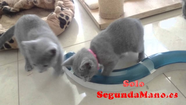 Disponibles cachorritos macho y hembra de azul ruso