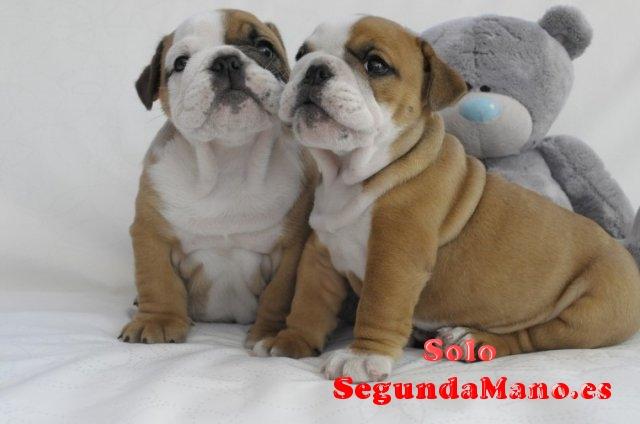 Dulces bulldogs ingleses para adopción