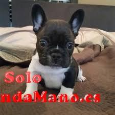 Encantadores cachorros Bulldog Frances para su aprobación