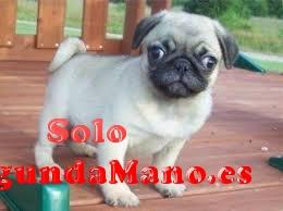 Encantadores cachorros Carlino para su aprobación