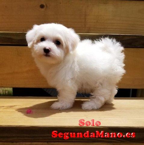Encantadores cachorros maltés disponibles