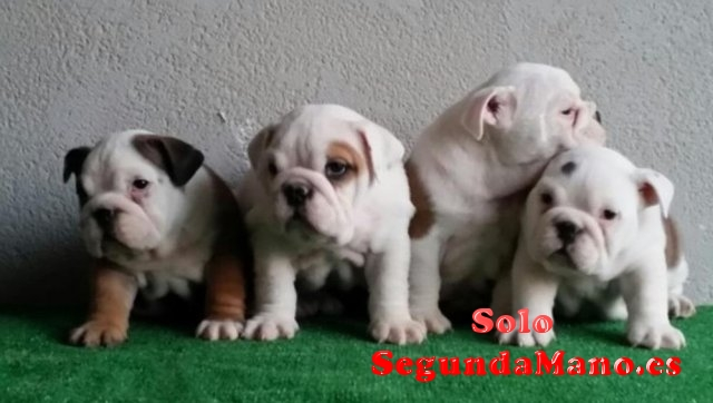 Espectaculares Cachorros De Bulldog Ingles.