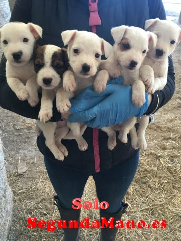 Espectaculares cachorros de jack russell