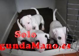 Estupendos cachorritos de bull terrier bien socializados