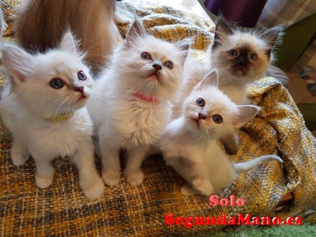 Estupendos gatitos de raza ragdoll