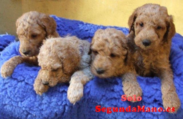 Excelentes cachorros de caniche toy