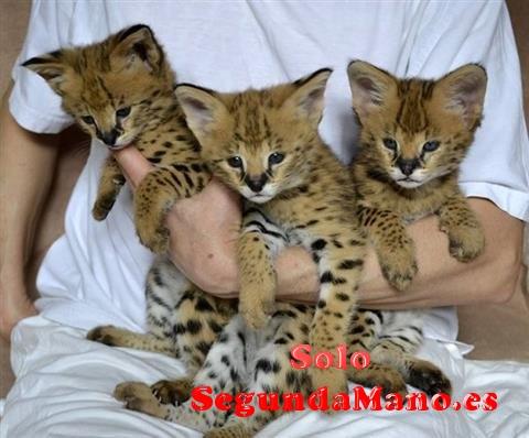 F1 gatitos de la sabana para la adopción