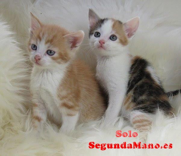 Gatitos persas para la adopción libre