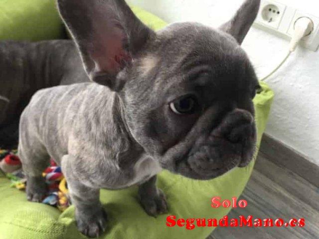 Gratis bulldog frances para adopcion