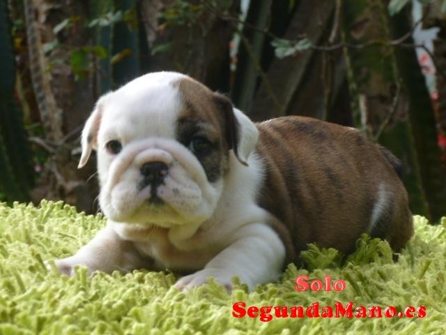Hermosos Cachorros Bulldog Ingles para su reserva