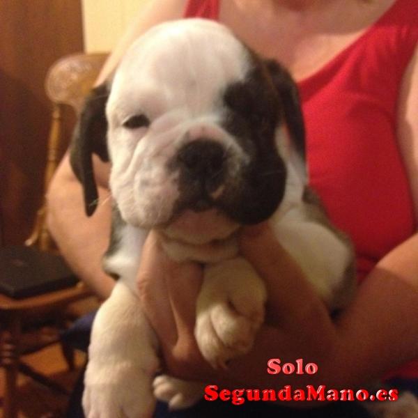Hermosos cachorros bulldog inglés disponible !!!