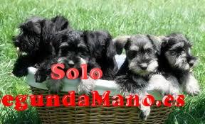 Impresionantes cachorritos de schnauzer miniatura