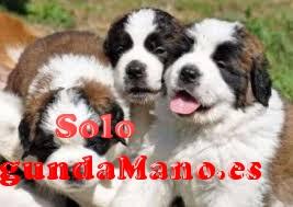 Impresionantes cachorros de San Bernardo Pura Raza