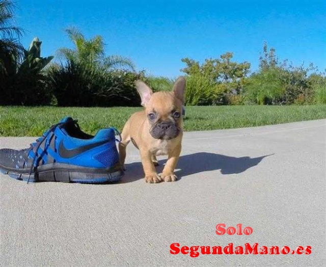 Lindo bulldog francés cachorros para adopción