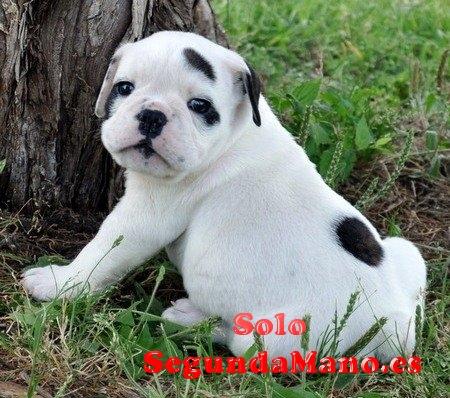 Los cachorros de bulldog inglés para su aprobación -